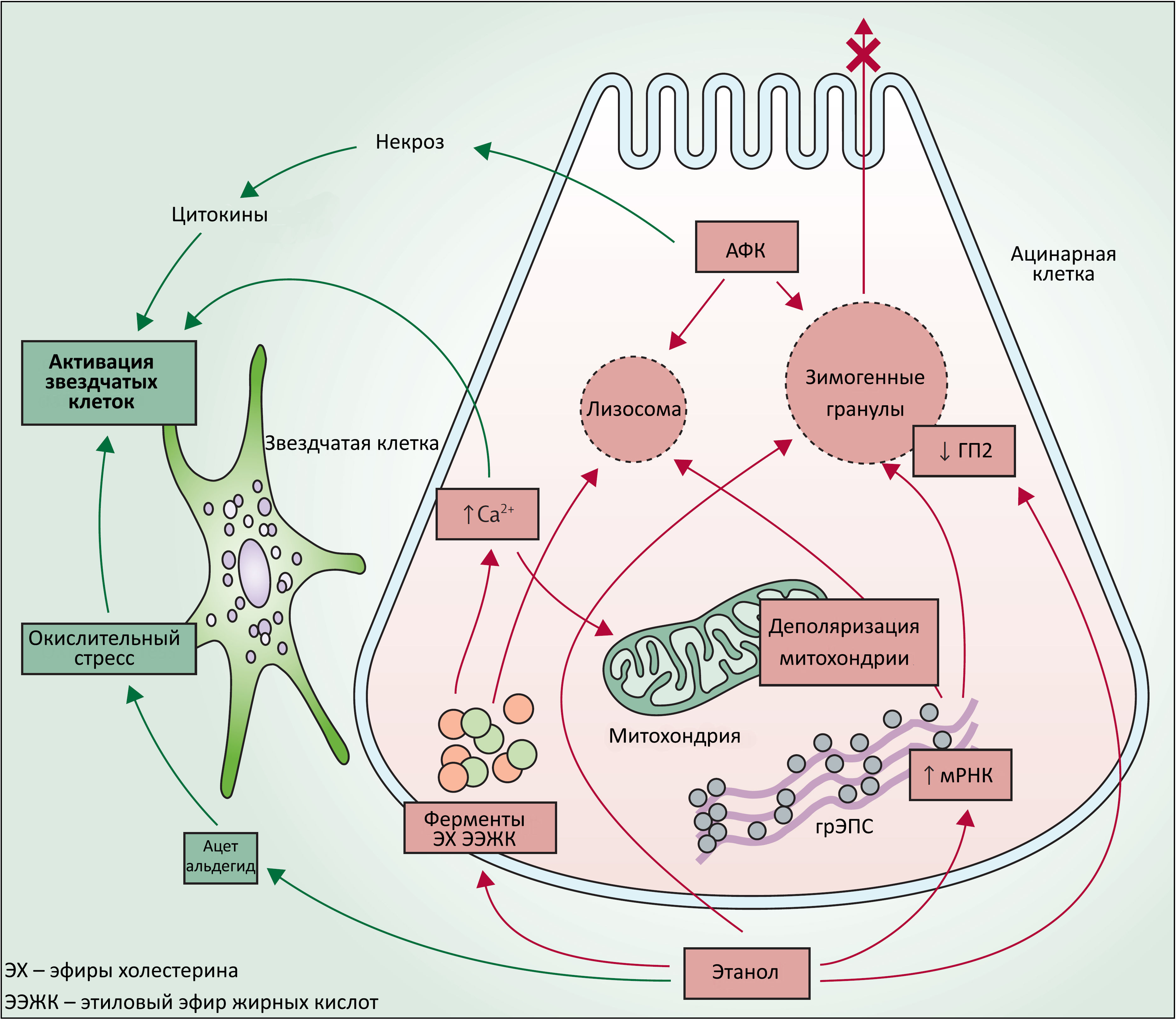 Теории и гипотезы патогенеза хронического панкреатита