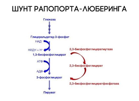 В легких гемоглобин присоединяет кислород и переходит в thumbnail