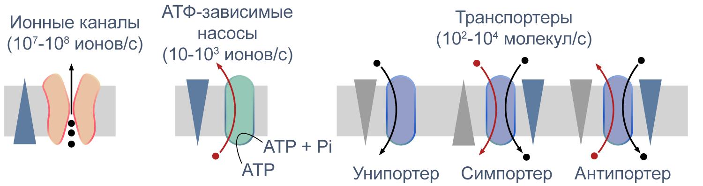 мембранные транспортеры