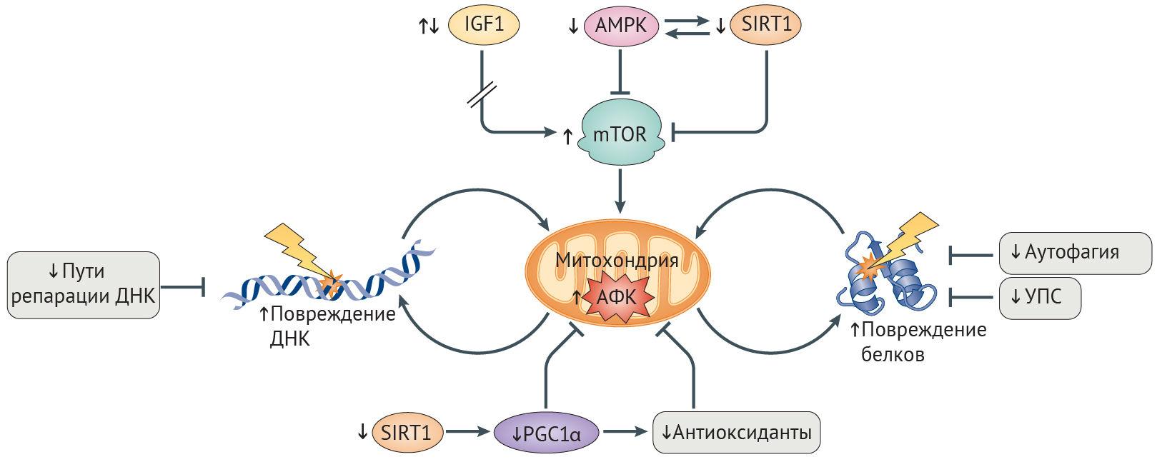 картинки метаболические пути д николсона оригинальное