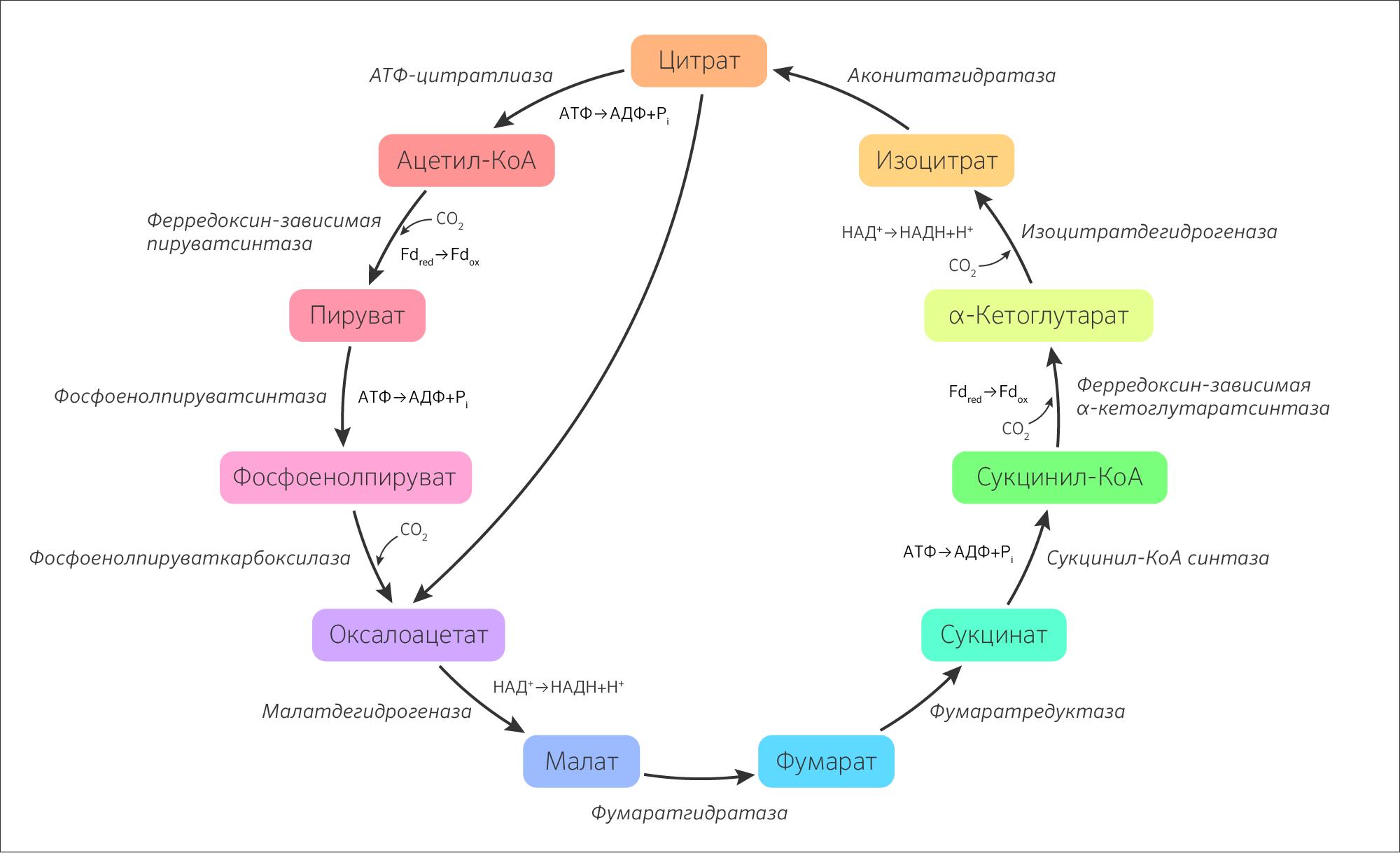 Какова роль ферментативного конвейера цикла кребса 10 класс авто ру пенза фольксваген транспортер