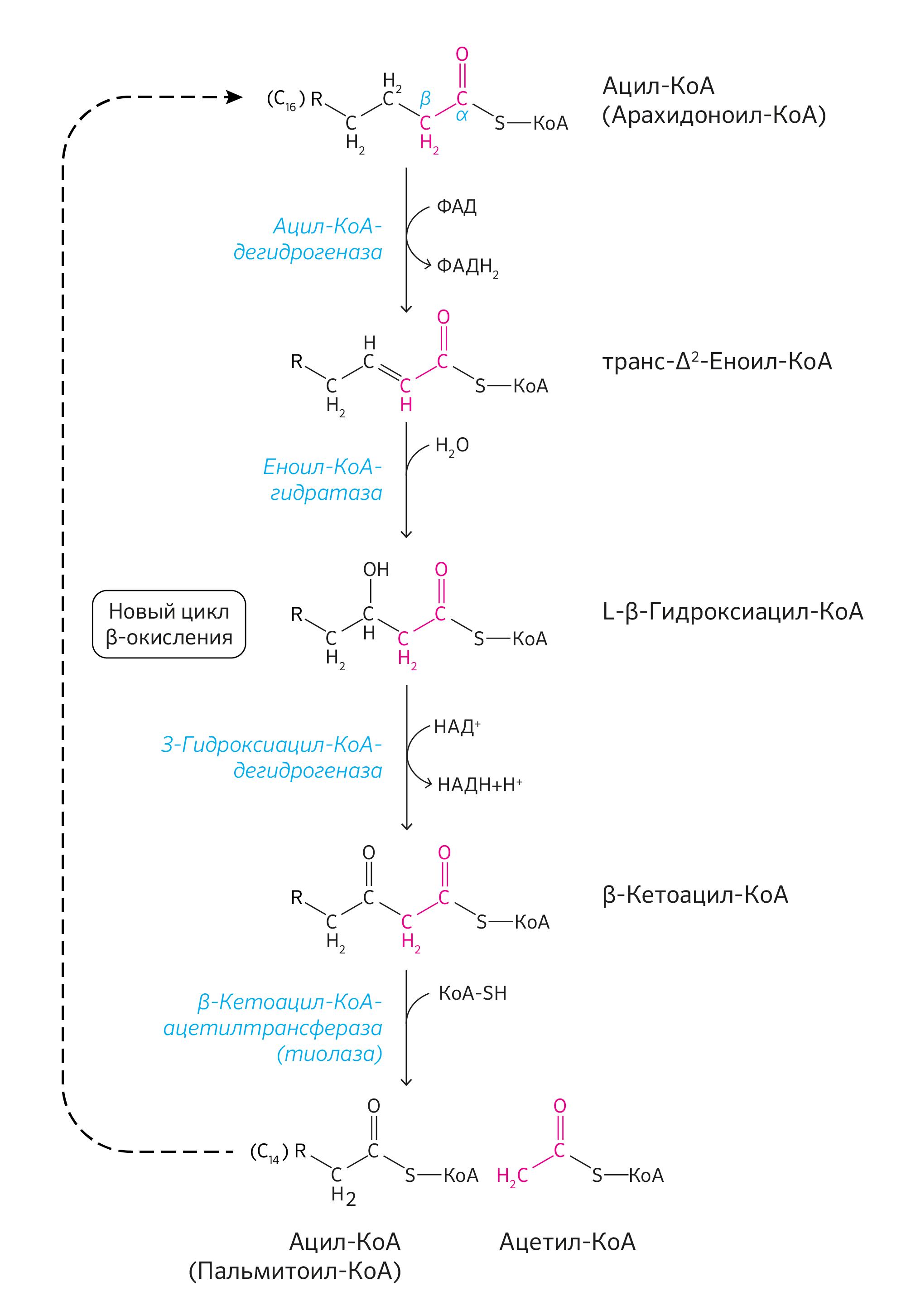 Какова роль ферментативного конвейера цикл кребса транспортер элеватор зерновой вектор