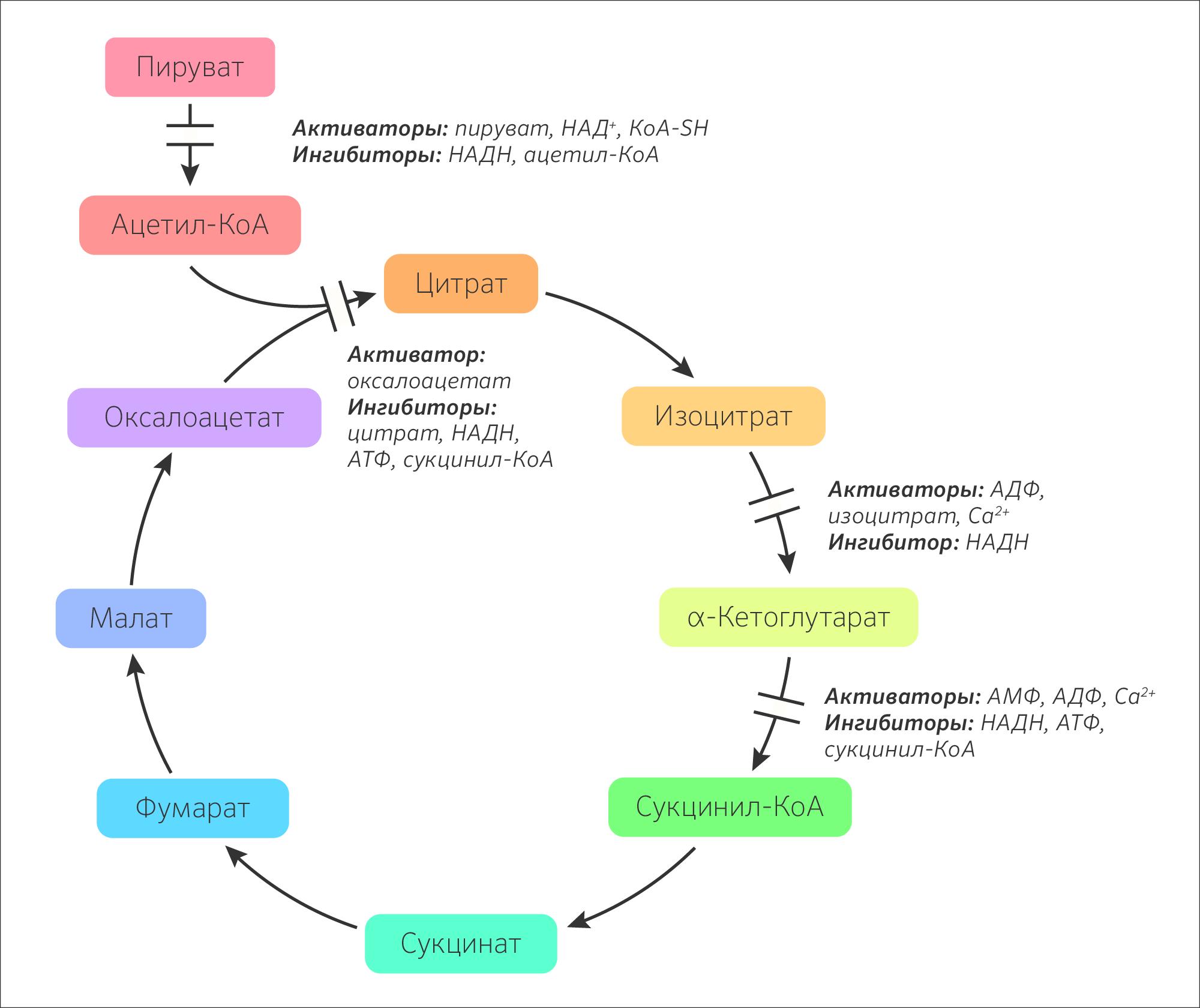 какова роль ферментативного конвейера цикла кребса биология 10 класс